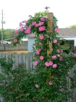 Zephy's are thornless roses with long pliable canes that are easy to train.