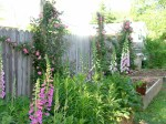 Digitalis growing in raised beds, 'Candy Mountain', 'Excelsior' and 'Creme Cafe'