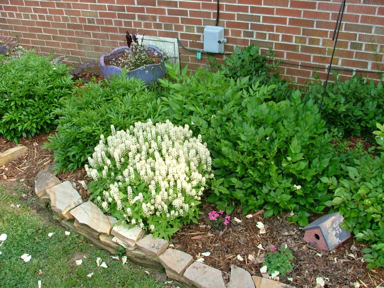Tiarella cordifolia a way to garden -  Foam Flower Tiarella Cordifolia In Bloom Astilbes