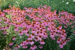 Echinacea purpurea 'Kim's Knee High' Strong Bloomer & Dwarf Size