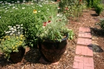 Echinacea cultivars in the black pot & 'Becky' Shasta Daisies in background