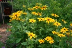 Rudbeckia 'Indian Summer'