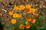 Beautiful Bright California Poppies, reseed where they will, they're almost always nice wherever they show up.