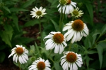 In the evening, 'White Swan' coneflowers just jump out at you they're so bright at dusk.