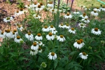 Echinacea purpurea 'White Swan' Comes true from seed so volunteers are no problem.