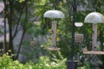 Bird caught in flight & More American Gold Finches