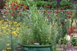 Zebra Grass in pot with Monarda (bee balm) in background